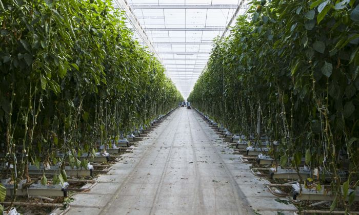 Greenhouse Barendse-DC, Middenmeer, 370.000 sqm. Photo by Johannes Schwartz.